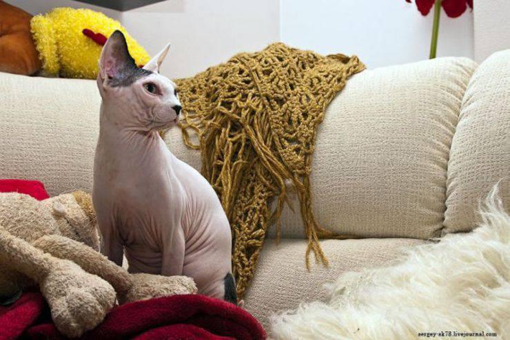 Sfinks - łysy kot 3