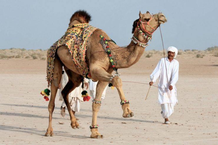 Bikaner Camel Festival 8