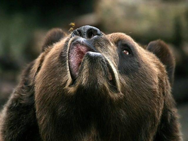 Niedźwiedzie 71