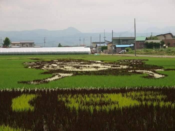 Niezwykłe pole ryżowe 11