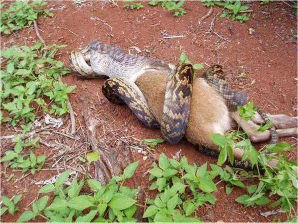 Wąż pożerający kangura 4