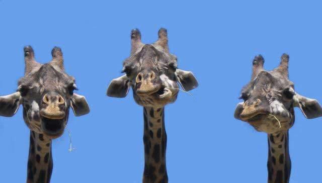 Żyrafy 4