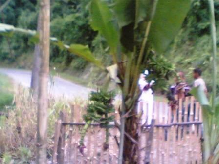 67816796f1e0a1301704b3212950dd86eb7dcf1 Pohon pisang bertandan 4 di Sayur Matinggi